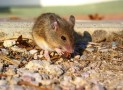 Best Mouse Trap Reviews. Know More How To Catch A Mouse Easily