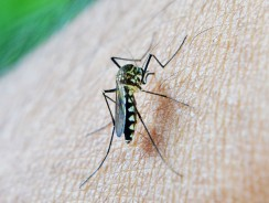 Mosquito Species And Genus. How To Distinguish Mosquitoes